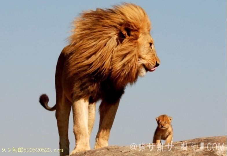 动物 狮子 桌面 784